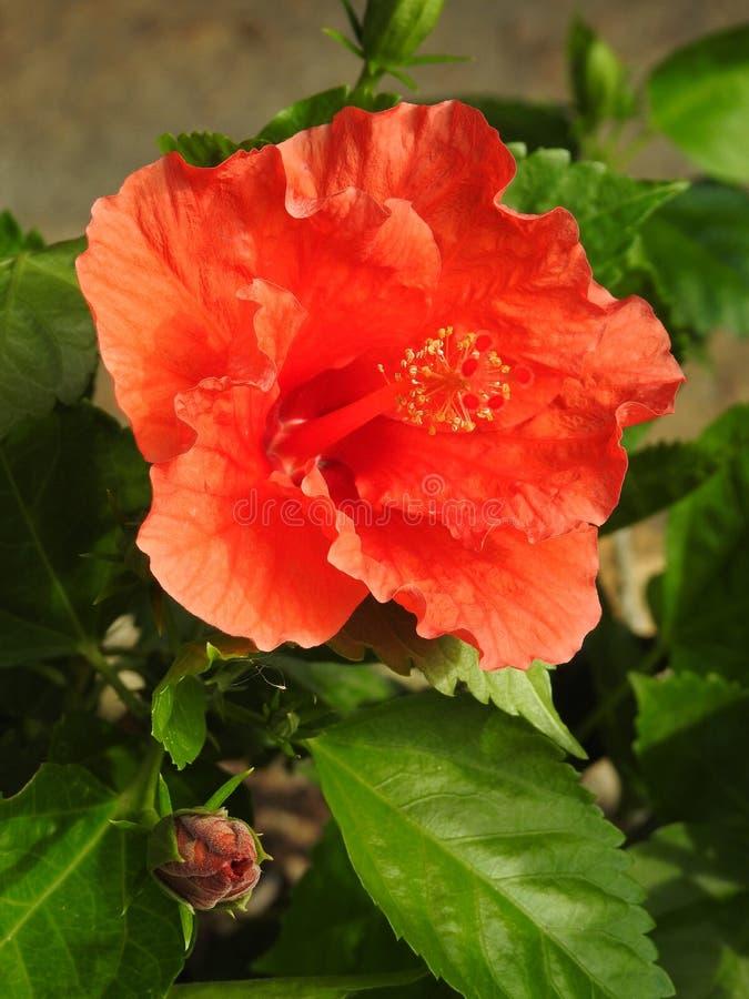 Het close-up van een grote rode bloemhibiscus opent en een andere het bloeien stock foto's