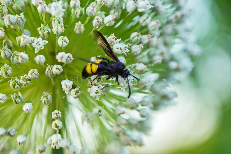 Het close-up van een wesp fotografeerde close-up, zittend op kleine witte bloembloemblaadjes stock foto's