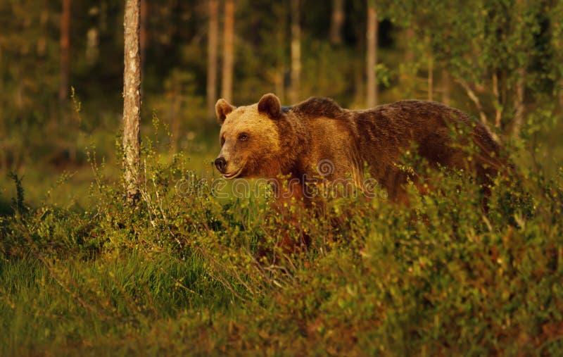 Het close-up van Europese bruin draagt mannetje in boreaal bos royalty-vrije stock foto
