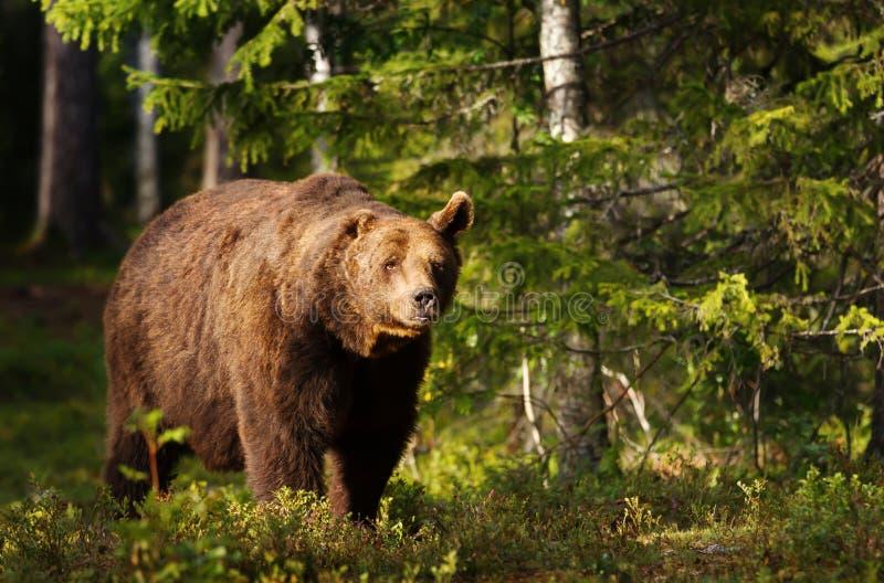 Het close-up van Europese bruin draagt met één oor in boreaal bos royalty-vrije stock afbeeldingen