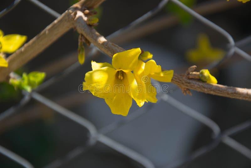 Het close-up van Forsythia op een zonnige dag, gele bloemen die op een omheining, de mooie lente, lentetijd groeien bloeit stock afbeelding