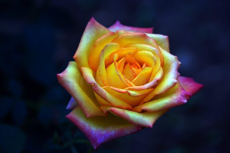 Het close-up van geel-roze nam toe royalty-vrije stock fotografie