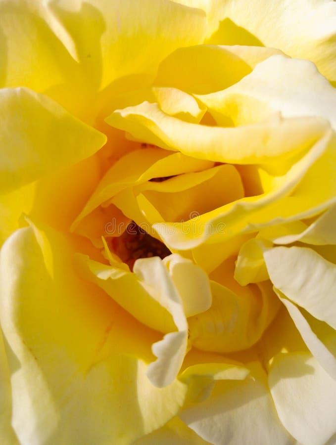Het close-up van gele Chinees nam bloemen toe royalty-vrije stock foto's