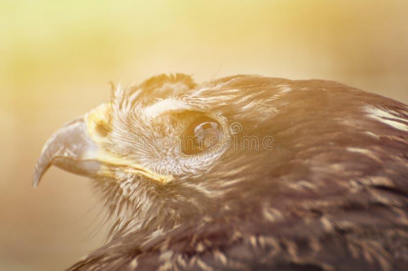 Het close-up van het haviksoog royalty-vrije stock afbeeldingen