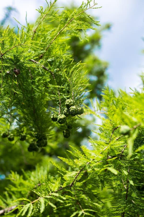 Het close-up van kegels en cipres verlaat Taxodium-distichum op een blauwe natuurlijke achtergrond als achtergrond royalty-vrije stock afbeeldingen