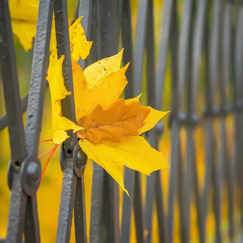 Het close-up van levendige Esdoorn en eiken boom doorbladert in stadsomheining, rooster Concept verandering van seizoenen, de Her stock fotografie