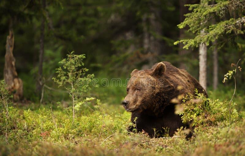 Het close-up van mannelijke Europese bruin draagt liggend in boreaal bos stock afbeeldingen