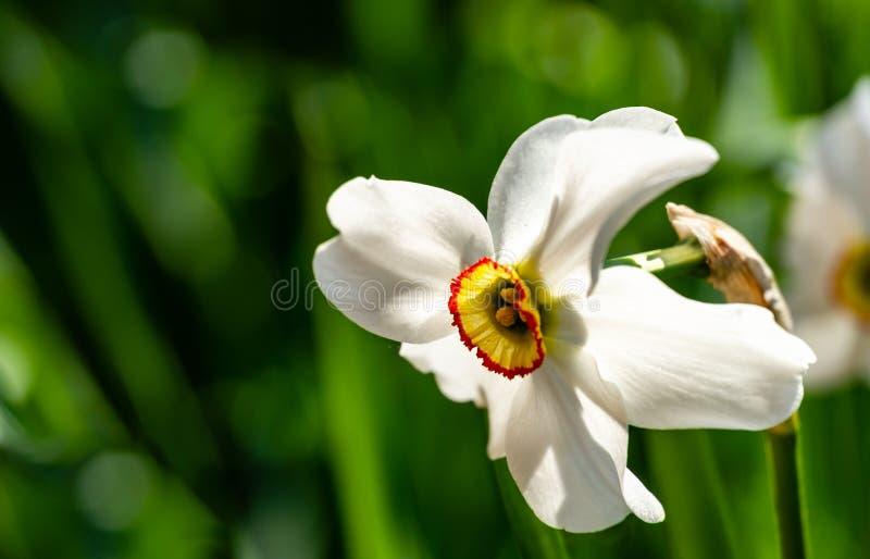 Het close-up van mooie witte Dichtersnarcissen bloeit Narcissenpoeticus, dichtersgele narcis, het oog van de fazant, findern bloe stock fotografie