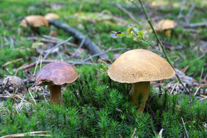 Het close-up van paar verschillende boletuses typt samen het groeien op bosvloer van mos, eetbare paddestoelen, de Herfst stock fotografie