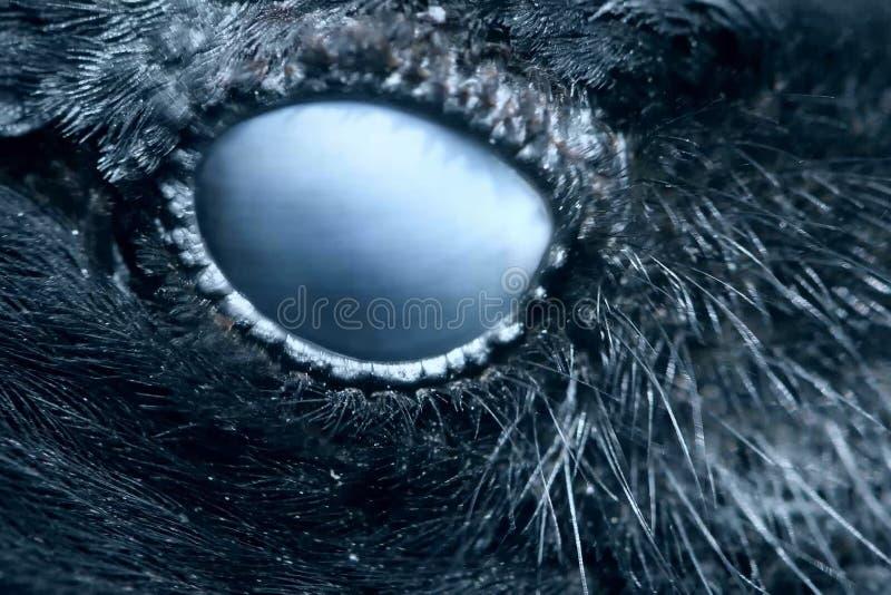 Het close-up van het raafoog, macro, oog van kraai met een kap gestemd royalty-vrije stock foto's