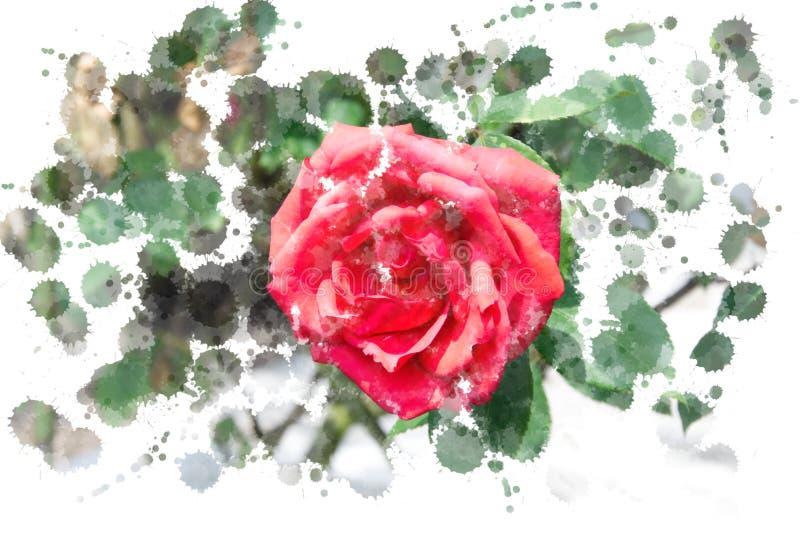 Het close-up van trillende rood nam bloesem - Tuinbloemen die in de zomer, waterverfplonsen bloeien toe stock foto