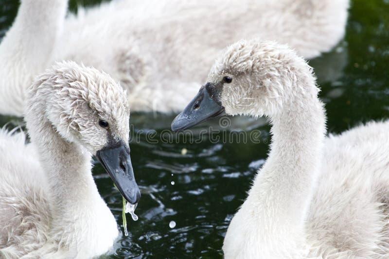 Het close-up van twee mooie jonge zwanen stock foto's