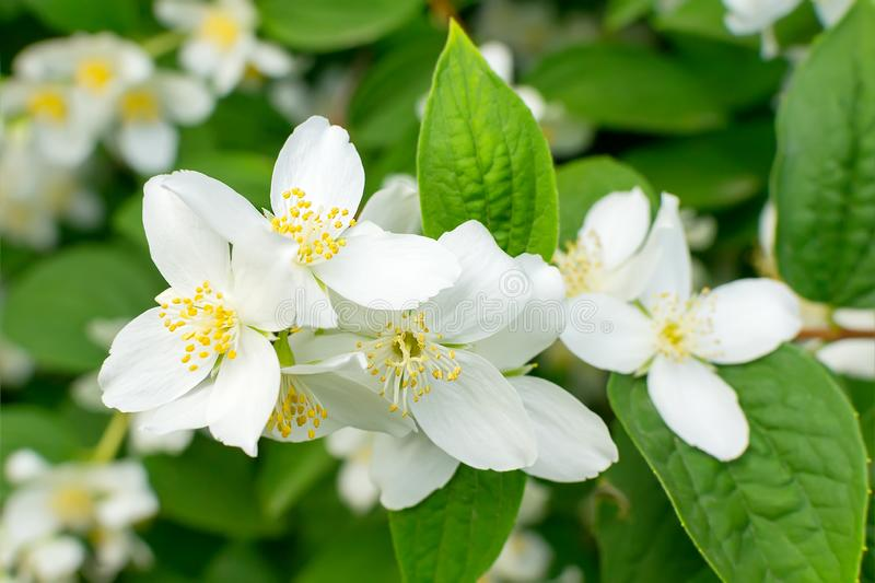 Het close-up van witte jasmijn bloeit en stamens met geel stuifmeel op een tak met groene bladeren royalty-vrije stock foto