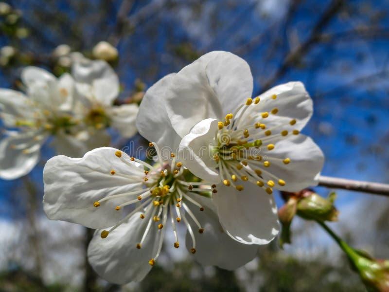 Het close-up van witte kersenbloemen komt tegen de achtergrond van een blauwe hemel tot bloei Heel wat wit bloeit in zonnige de l stock afbeelding