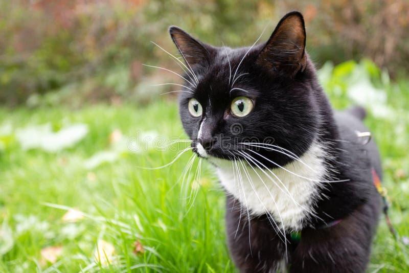 Het close-up verraste zwart-witte kat op groene grasachtergrond in park stock afbeeldingen