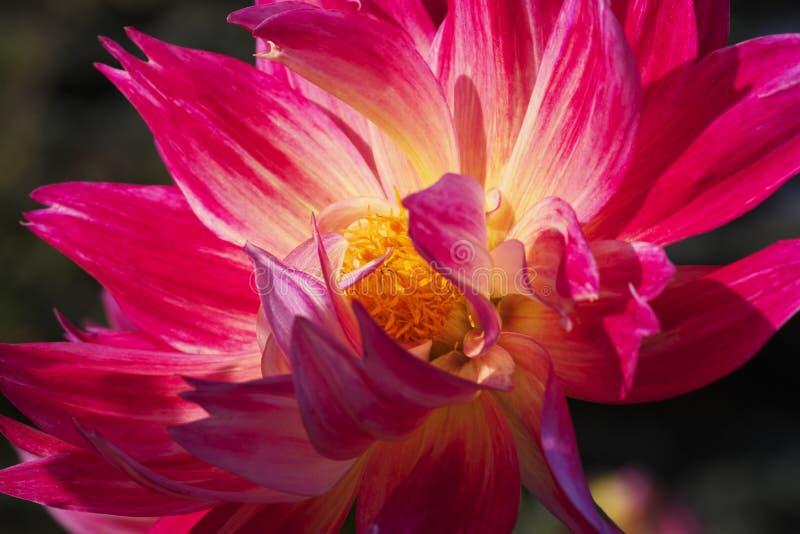 Het close-upbeeld van aangestoken door de bloem van de zondahlia gelijk te maken kleurde in heldere roze en geel royalty-vrije stock foto