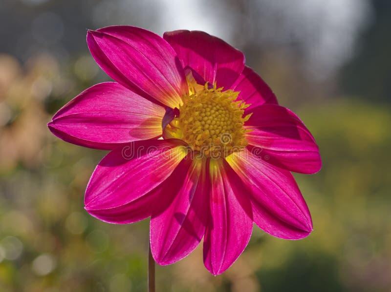 Het close-upbeeld van backlighted door de bloem gelijk te maken van de zondahlia in heldere roze wordt gekleurd die en geel stock fotografie