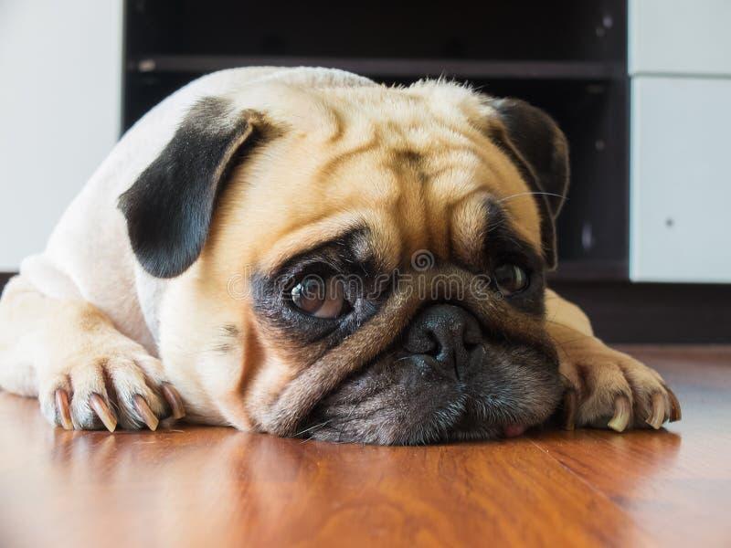 Het close-upgezicht van de Leuke pug rust van de puppyhond door kin en de tong bepalen op gelamineerde vloer en kijken aan camera royalty-vrije stock foto