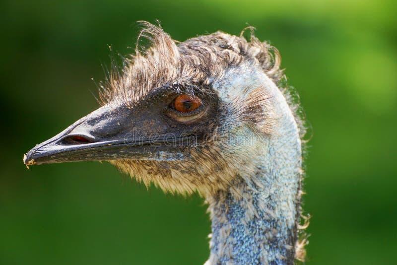 Het close-uphoofd van de emoestruisvogel royalty-vrije stock afbeeldingen