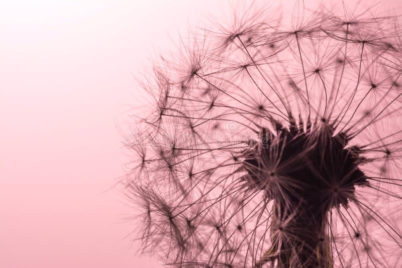 Het close-upmacro van paardebloemzaden in zonlicht op zacht, zacht roze, de achtergrond van de koraalkleur Allegorie van zuiverhe royalty-vrije stock foto's