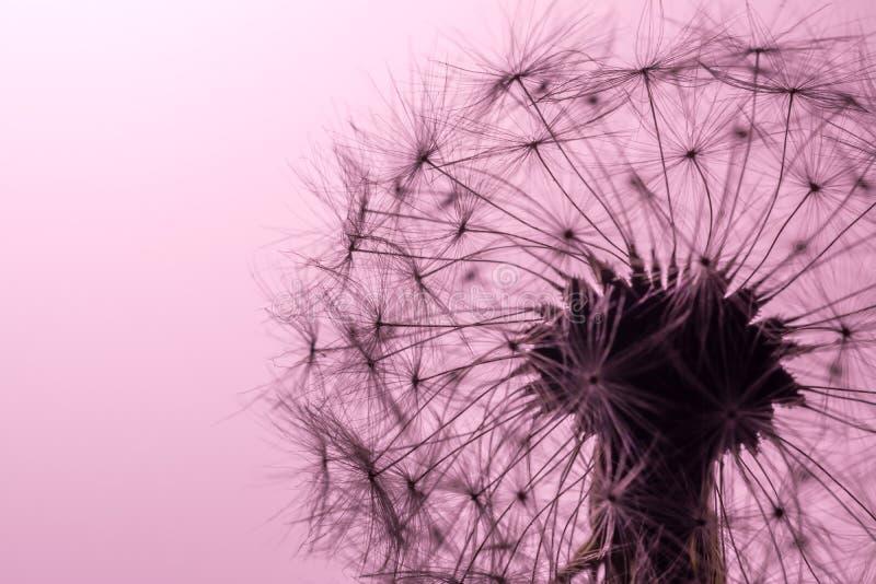 Het close-upmacro van paardebloemzaden in zonlicht op zacht, zacht roze, de achtergrond van de koraalkleur Allegorie van zuiverhe stock fotografie