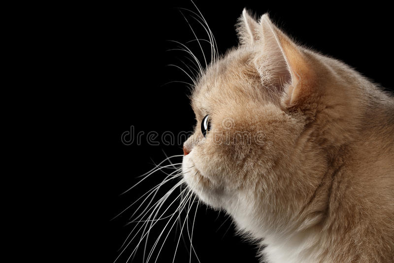 Het close-upportret Britse Cat Gold Chinchilla, in Profiel, isoleerde Zwarte stock afbeelding