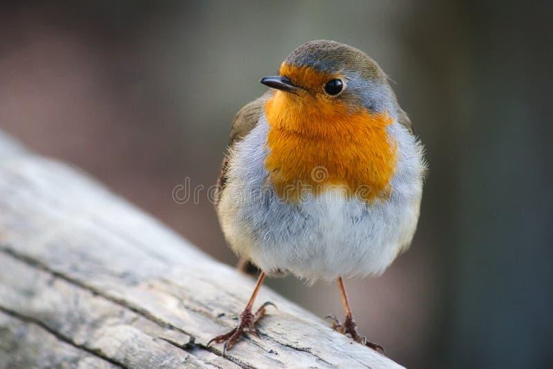 Het close-upportret van mooie Robin met rode borst streek op een tak neer royalty-vrije stock afbeelding
