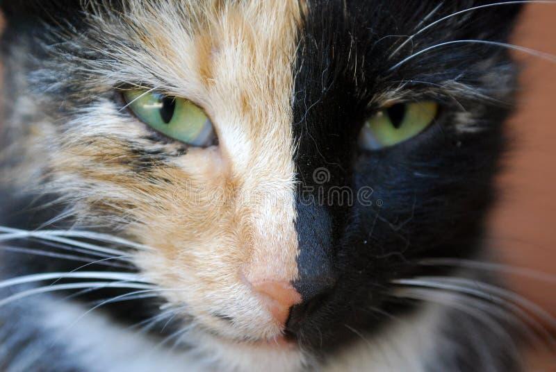 Het close-upportret van a tricolored kat met heterochromia stock afbeeldingen