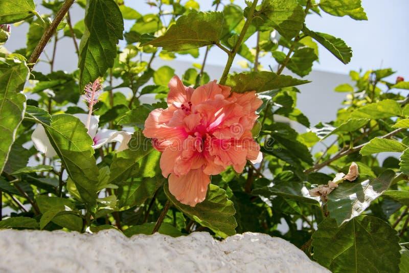Het close-upschot van de hibiscus van de perzikkleur bloeit op een tak onder de bladeren royalty-vrije stock afbeelding