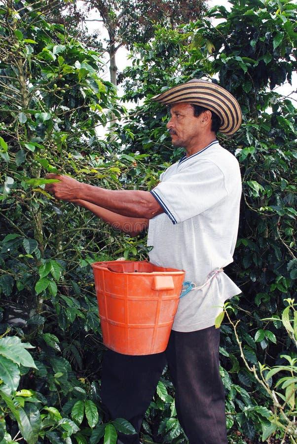 Het Columbiaanse koffielandbouwer plukken royalty-vrije stock afbeelding