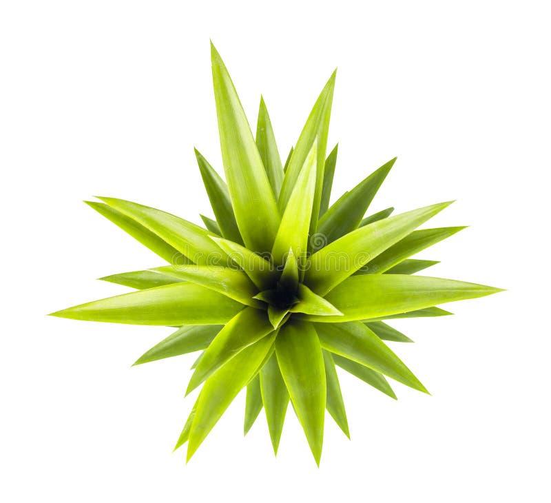 Het concept van de zomer De hoogste bladeren van de meningsananas op witte achtergrond Verse ananasbladeren Isoleer op witte bakc stock afbeelding