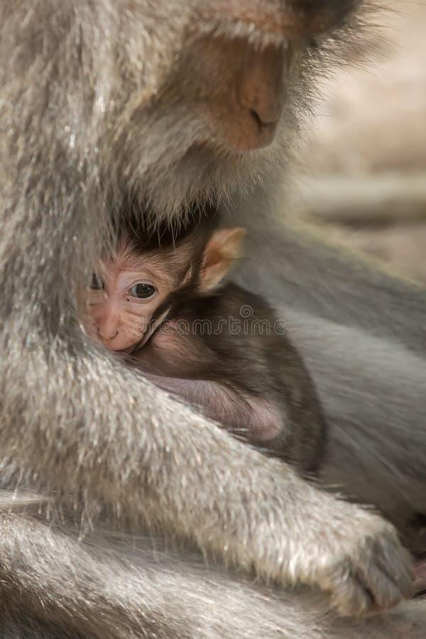 Het concept van het de zorgmoederschap van de liefde Kleine baby met moeder macaque royalty-vrije stock foto's