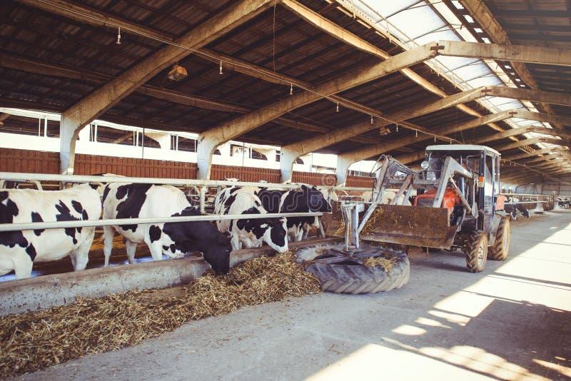 Het concept van het koelandbouwbedrijf landbouw, landbouw en veeteelt - een kudde van koeien die hooi in een schuur op een melkve royalty-vrije stock foto's