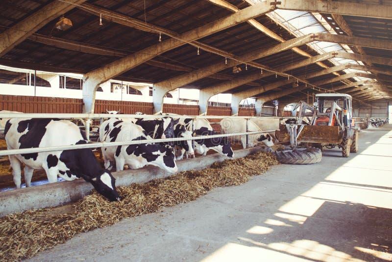 Het concept van het koelandbouwbedrijf landbouw, landbouw en veeteelt - een kudde van koeien die hooi in een schuur op een melkve royalty-vrije stock afbeeldingen