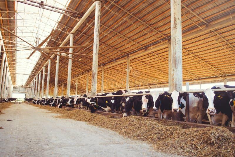 Het concept van het koelandbouwbedrijf landbouw, landbouw en veeteelt - een kudde van koeien die hooi in een schuur op een melkve stock foto