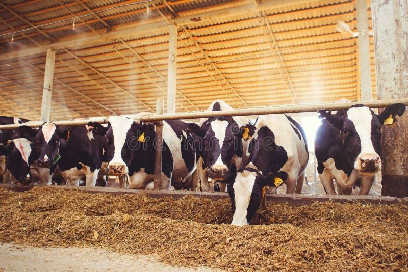 Het concept van het koelandbouwbedrijf landbouw, landbouw en veeteelt - een kudde van koeien die hooi in een schuur op een melkve stock foto's