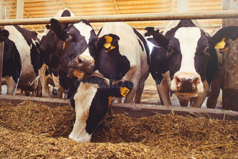 Het concept van het koelandbouwbedrijf landbouw, landbouw en veeteelt - een kudde van koeien die hooi in een schuur op een melkve royalty-vrije stock afbeelding