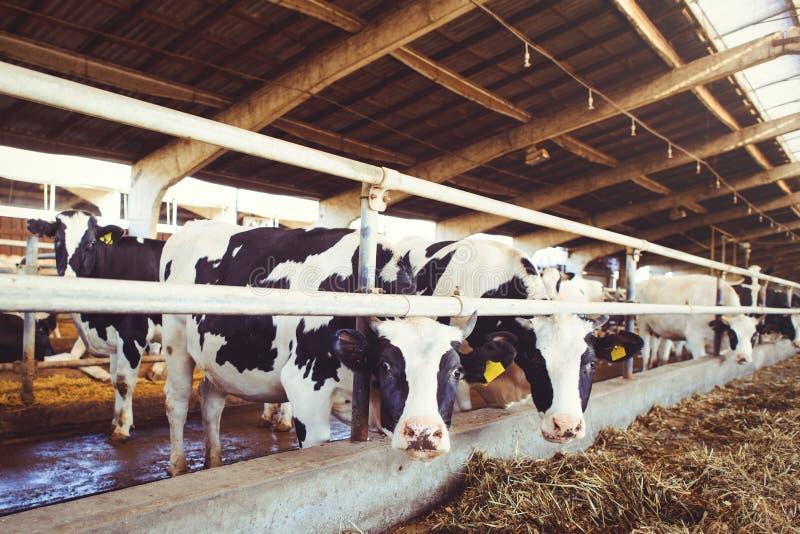 Het concept van het koelandbouwbedrijf landbouw, landbouw en veeteelt - een kudde van koeien die hooi in een schuur op een melkve royalty-vrije stock foto
