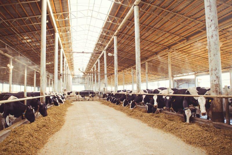 Het concept van het koelandbouwbedrijf landbouw, landbouw en veeteelt - een kudde van koeien die hooi in een schuur op een melkve stock afbeelding