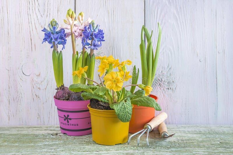 Het concept van Pasen of van de lente: Blauwe en roze hyacinten, gele primerose in multicolored pot, het tuinieren materiaal royalty-vrije stock foto