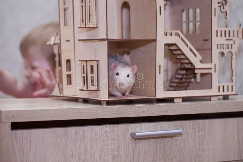 Het concept is vrekkig Het witte rat verbergen van het kind royalty-vrije stock foto