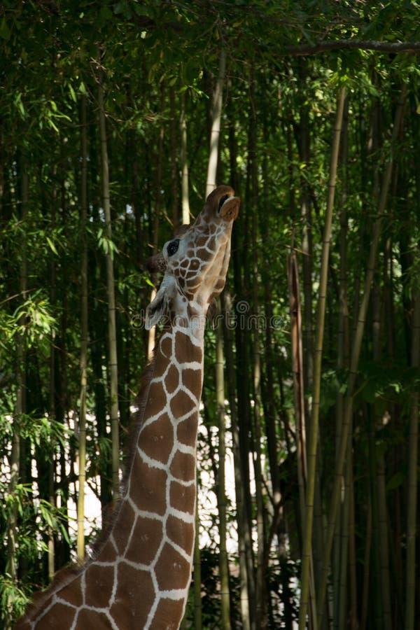 Het conflict van girafvlekken stock afbeelding