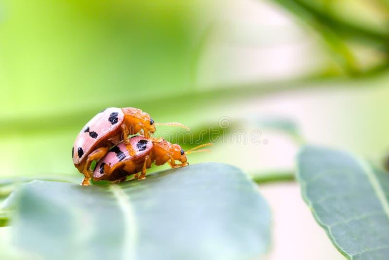 Het convergerende Dame Beetles koppelen op een groen blad met copyspace royalty-vrije stock afbeelding