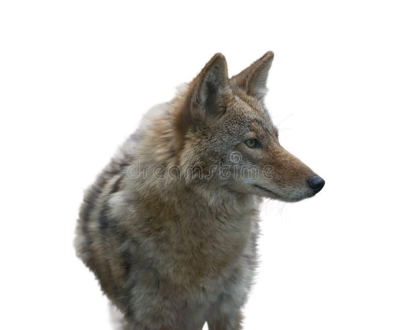 Het coyoteportret, sluit omhoog royalty-vrije stock fotografie