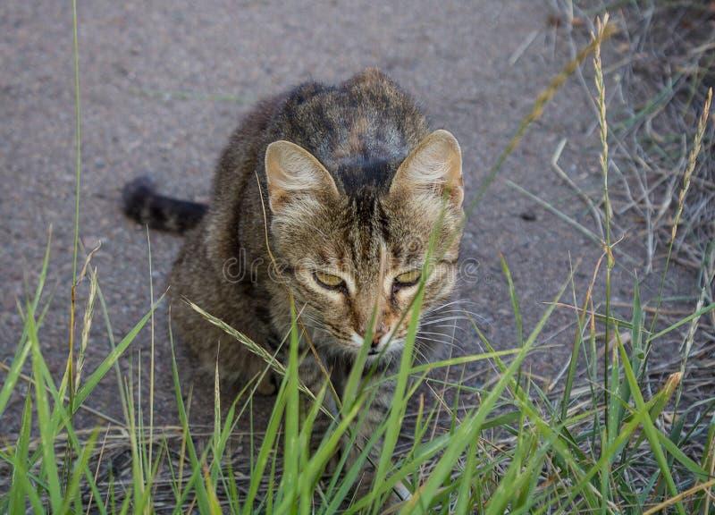 Het dakloze grijze kat verbergen in het gras stock foto