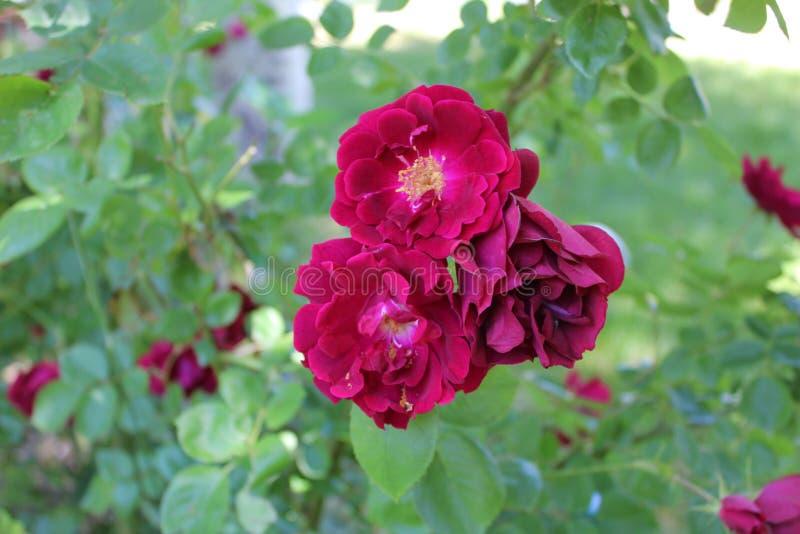 Het damast nam en Magnoliophyta die B bloeien sterven toe royalty-vrije stock afbeeldingen