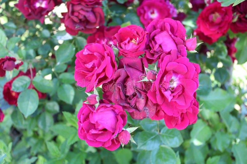 Het damast nam en Magnoliophyta die a bloeien sterven toe stock afbeeldingen