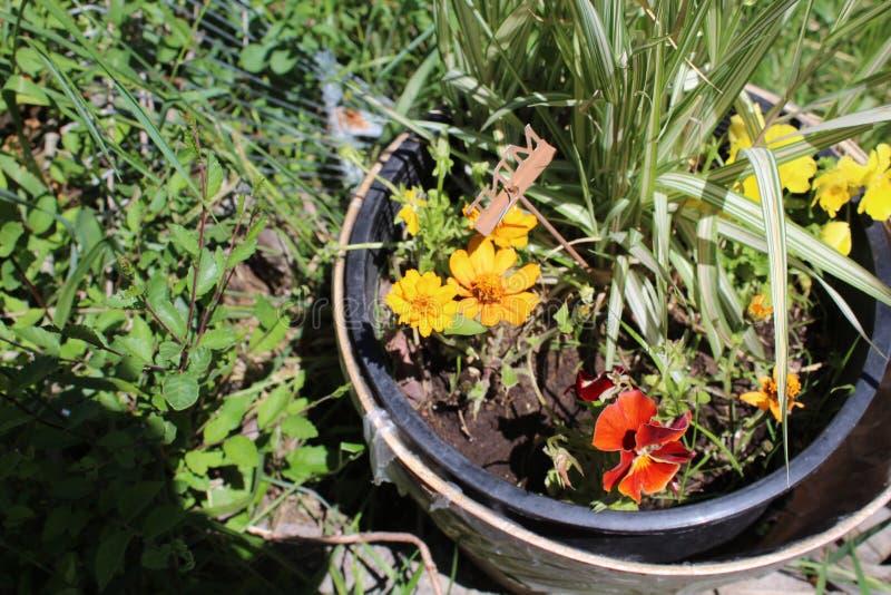 Het damast nam Magnoliophyta aa toe royalty-vrije stock foto's