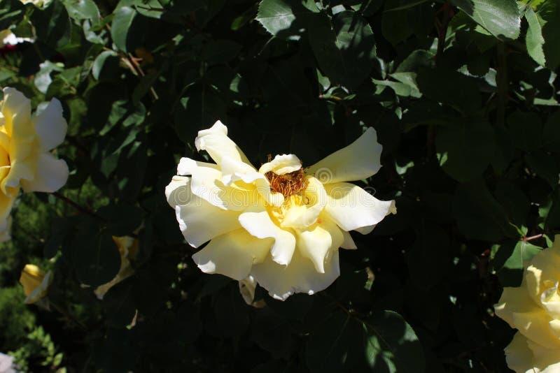 Het damast nam Magnoliophyta-bloem het dichte omhoog sterven toe stock foto's