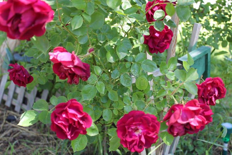 Het damast nam Magnoliophyta-bloemen dichte omhooggaand toe royalty-vrije stock afbeeldingen